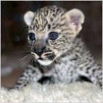 ولادة أنثى شبل النمر العربي في الشارقة