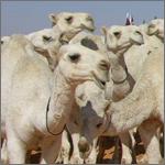 100 مليون ريال قيمة شراء الإبل بمهرجان« مزايين الإبل» بأم رقيبة