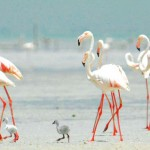 اكتشاف أكبر مستعمرة لتكاثر طيور الفلامنجو الكبيرة في «محمية الوثبة»