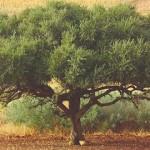«اليونيسكو» تدرج المعارف والمهارات المرتبطة بشجرة «أركان» في قائمة التراث الإنساني