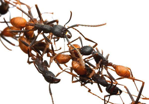 النمل ينقذ صياداً من الموت
