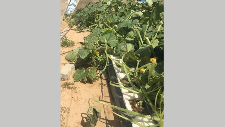 «العاصفة» تتلف 30% من محاصيل زراعية في «الوسطى»