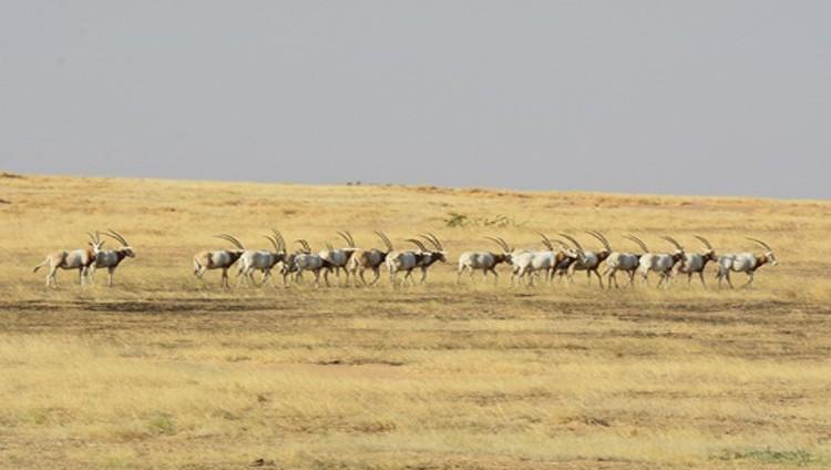 وصول 25 رأساً من المها الإفريقي إلى تشاد