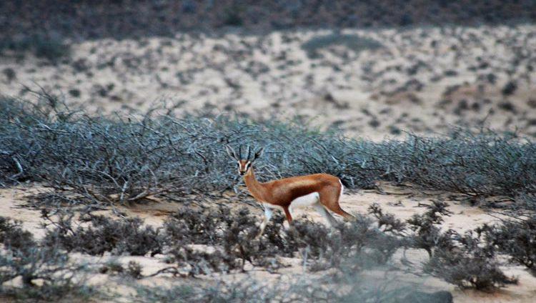 قطر تسطو على فصيلة نادرة من غزلان الصومال