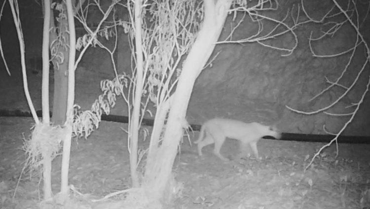 ظهور حيوان في أبوظبي لأول مرة منذ 35 عاماً.. تعرف إليه