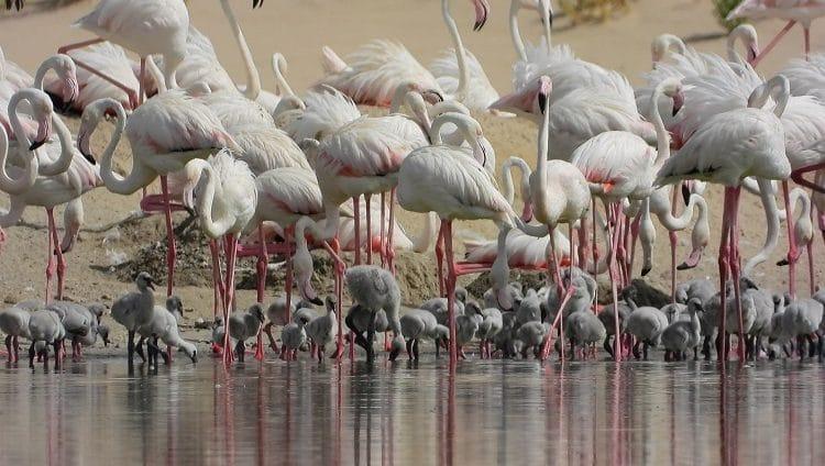 ولادة 876 فرخا لطائر الفلامنجو في محمية الوثبة للأراضي الرطبة خلال الموسم الحالي